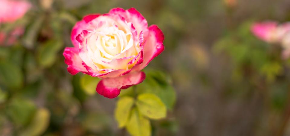 Rose-Slider